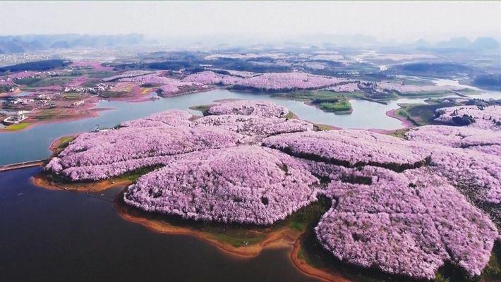 Hermosos cerezos florecen con la llegada de la primavera en China