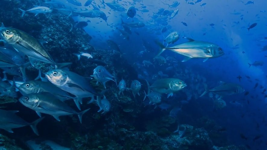 Mira la abundante vida silvestre submarina de la Isla del Coco