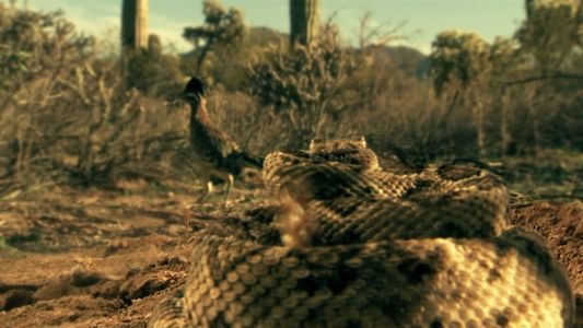 Lucha mortal en México: Correcaminos vs. Serpiente de cascabel