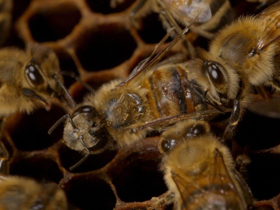 """Así actúan las abejas ante la """"feromona de la muerte""""   Cosmos: Mundos Posibles"""
