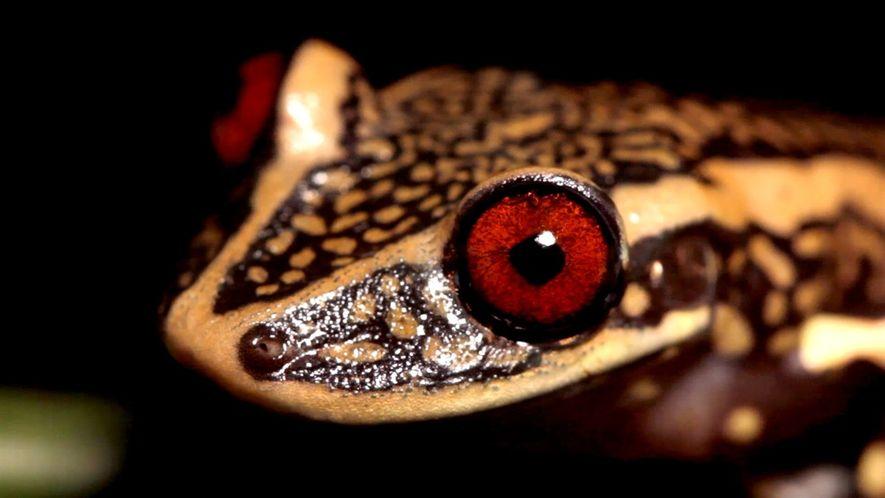 Explorador de National Geographic busca especies de anfibios amenazadas en Brasil