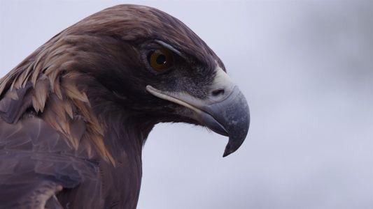 El águila real, un símbolo en peligro