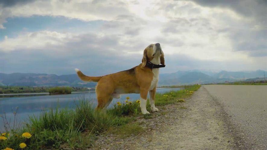 ¿Por qué los perros Beagle tienen una punta blanca en su cola?