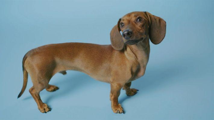 ¿Qué hace que las patas de un perro salchicha sean tan cortas?