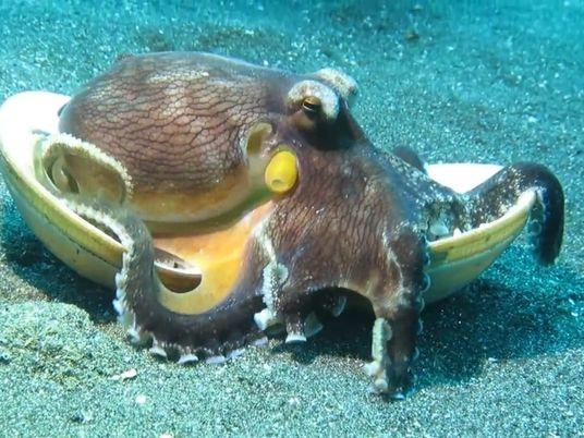 ¿Por qué este pulpo está transportando conchas de mar?