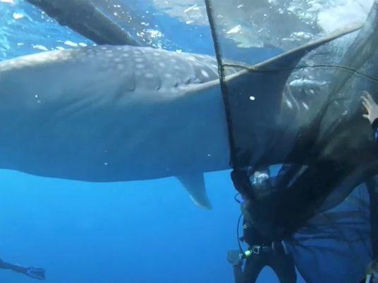 Mira a estos buzos rescatar cuatro tiburones ballena del tamaño de un vehículo
