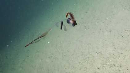 Este sorprendente calamar cacatúa se ve casi transparente