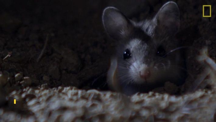 Escucha: El ratón saltamontes