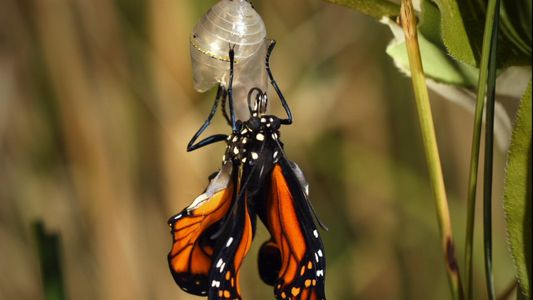 ¿Cuánto tarda una larva en transformarse en una mariposa monarca?
