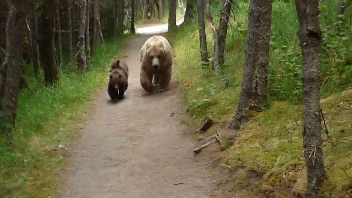 Un grupo de osos sigue a un excursionista