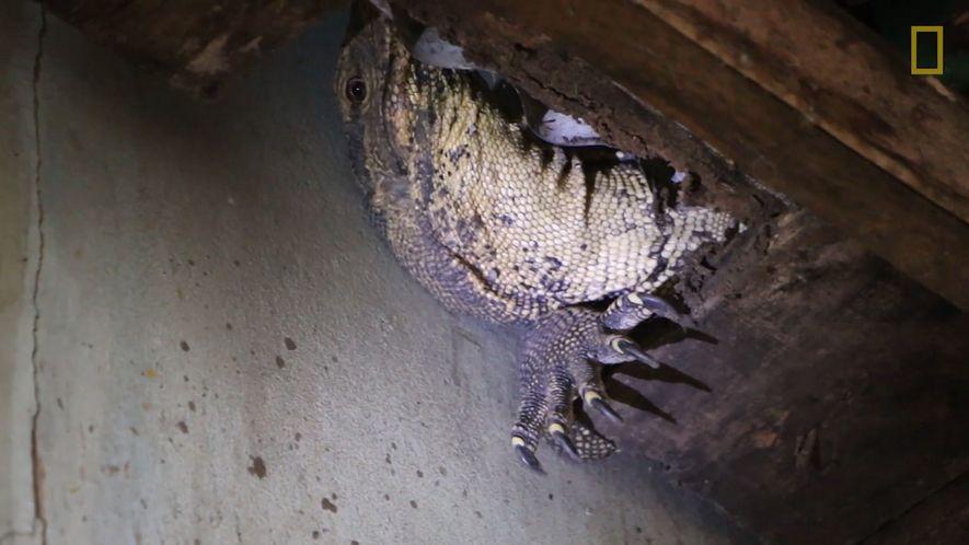 Enorme lagarto monitor atascado en una casa