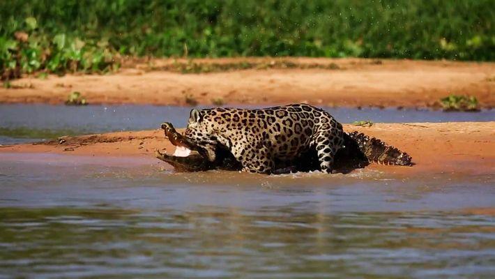 Jaguar vs. Caimán