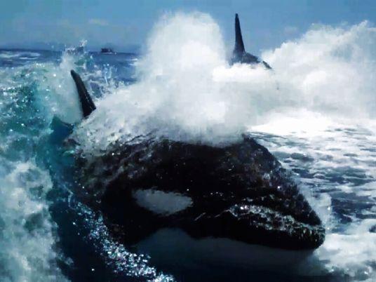Fotógrafos son perseguidos por orcas