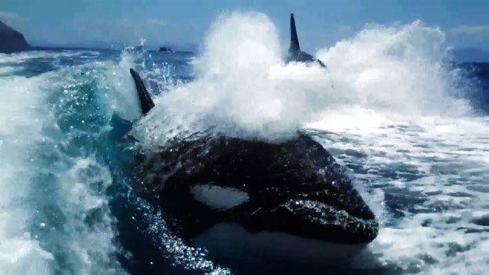 Perseguidos por orcas