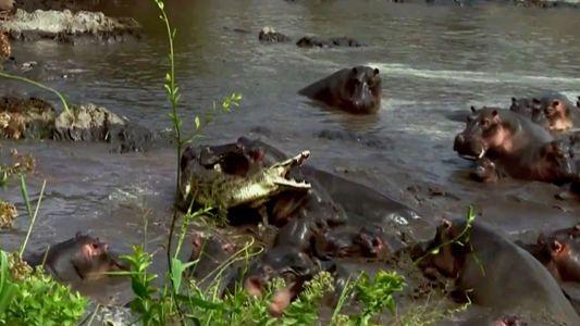 Cocodrilos versus Hipopótamos
