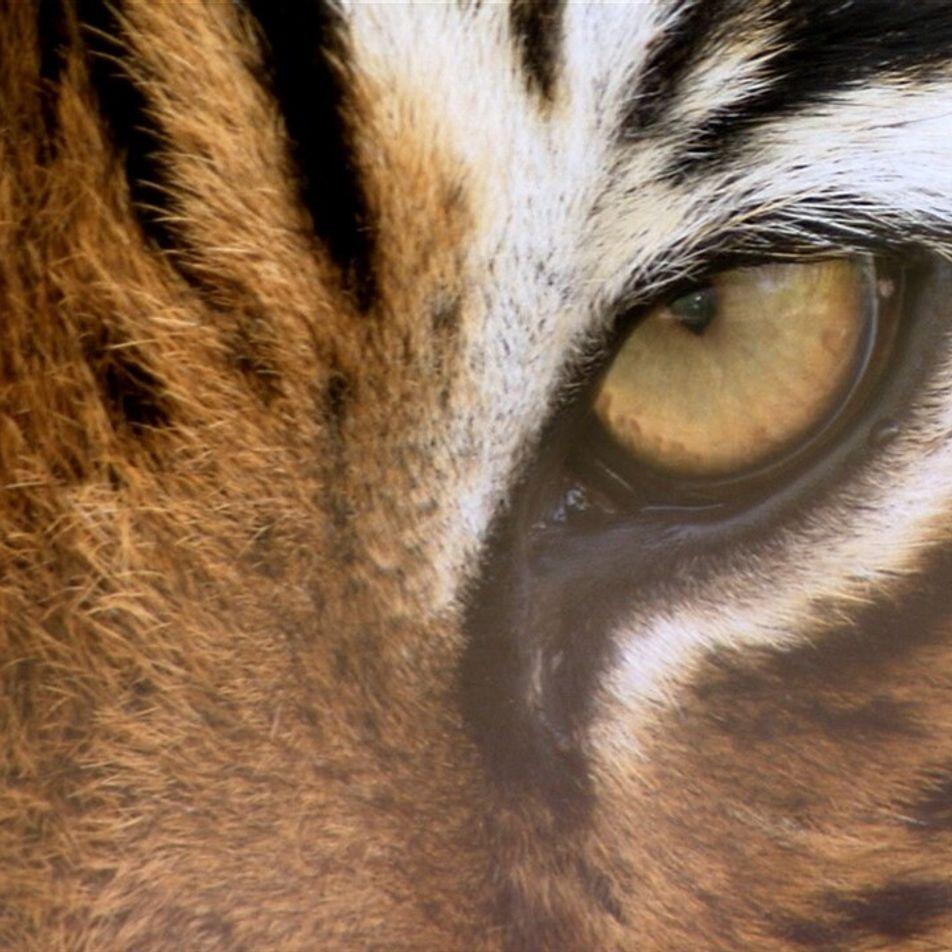 Tigre vs. tigresa de bengala
