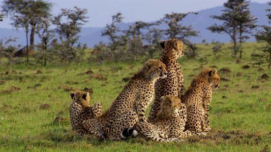 Guepardos aprenden a cazar