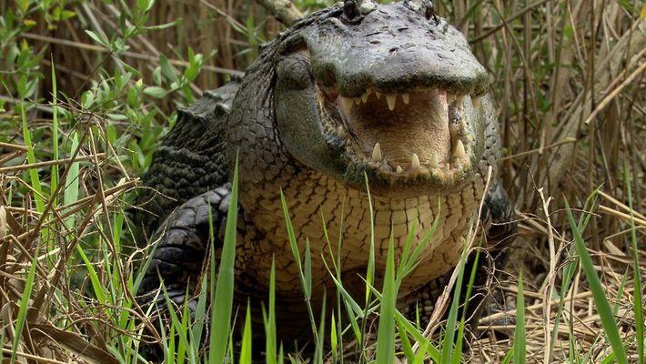 La poderosa mandíbula de los cocodrilos con la que no puede masticar