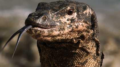 Uno de los lagartos más inteligentes del mundo