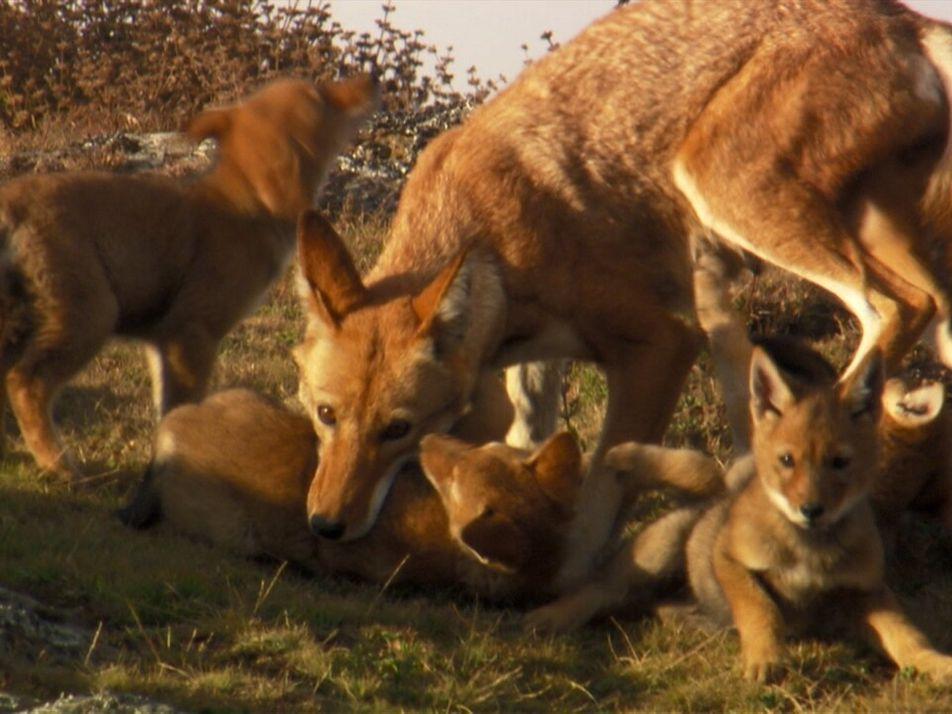 El lobo etíope: uno de los carnívoros más raros del planeta