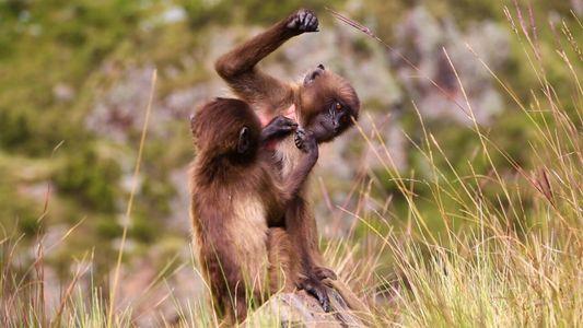 Los babuinos gelada y una adaptación similar a la de los humanos