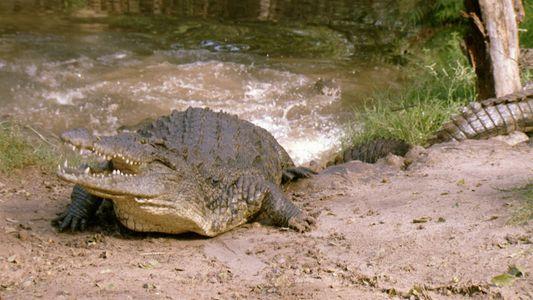 Imágenes fuertes: Un cocodrilo devora a una cebra