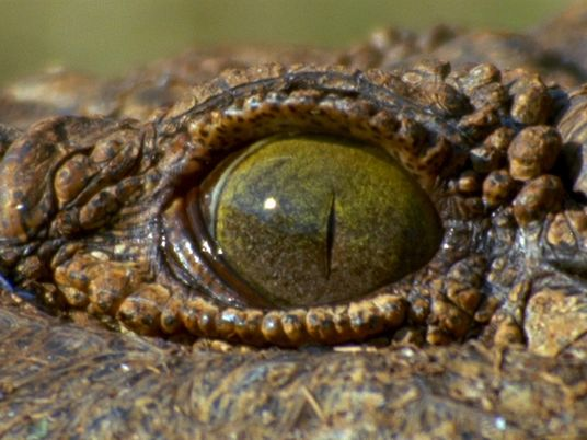 Conoce al cocodrilo más mortal