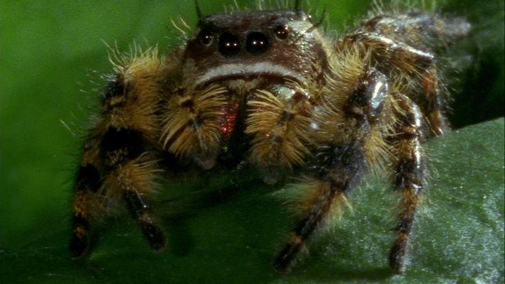 La araña saltarina caza una abeja gracias a esta ventaja anatómica