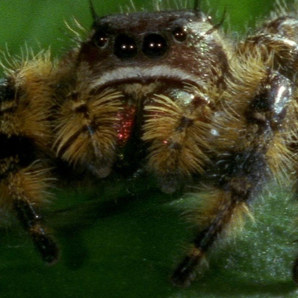 Esta araña saltarina caza una abeja gracias a una ventaja anatómica