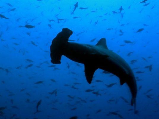 ¿Qué hace que la cabeza del tiburón martillo sea tan beneficiosa para la caza?