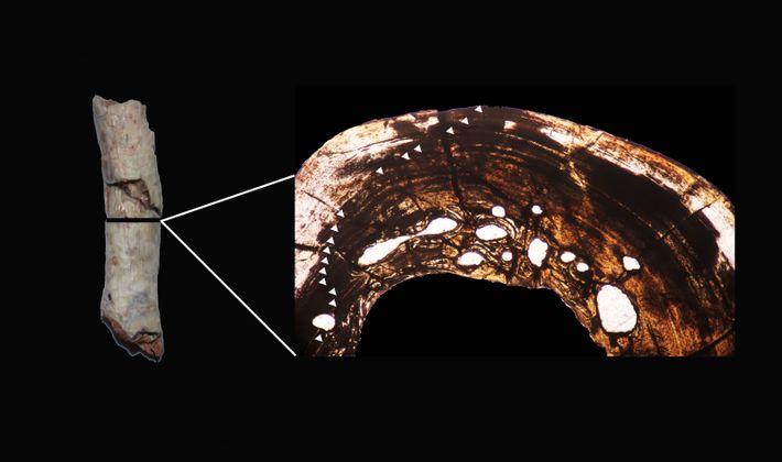 Fragmento de tibia que fue utilizado para el estudio paelohitológico. A la derecha está el corte ...