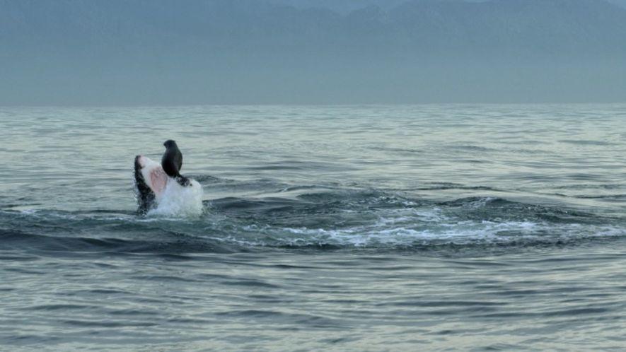 Planeta Hostil: Lobos marinos contra el gran tiburón blanco