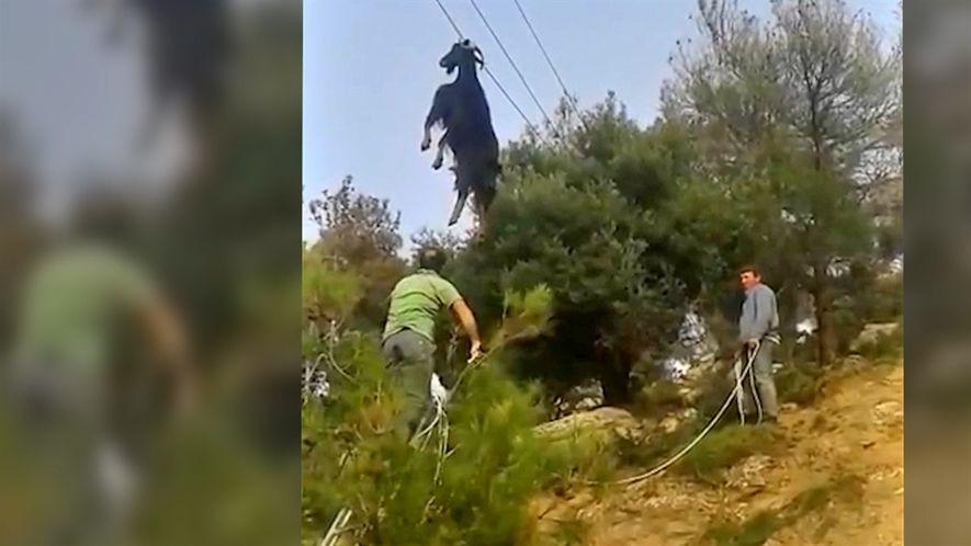 Bizarro rescate de una cabra atascada en un raro lugar
