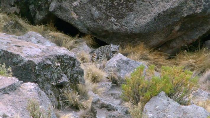El Gato Andino | Héroes de la Conservación