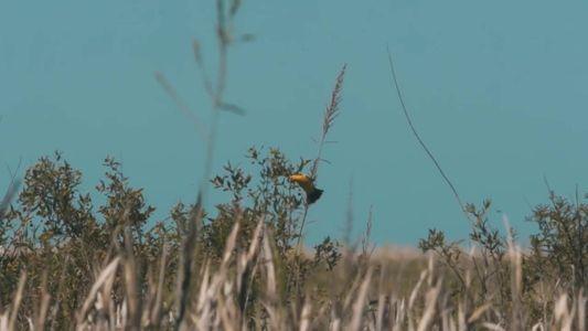 El Tordo Amarillo | Héroes de la Conservación