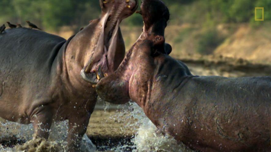 Hipopótamos, los animales más hostiles