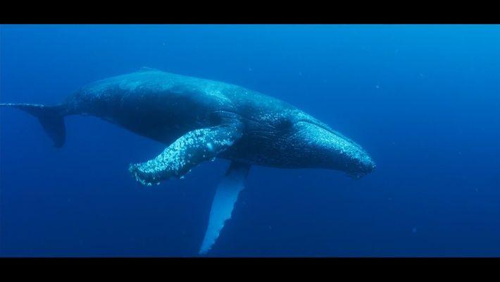 Las ballenas jorobadas de Sudáfrica hacen una reaparición impresionante