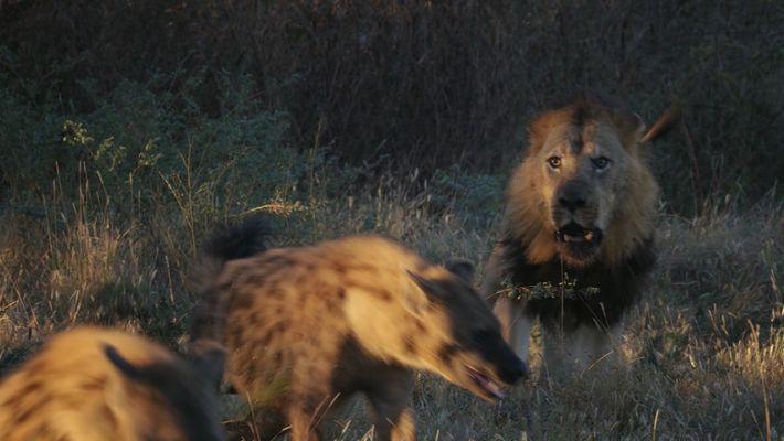 Imperio Salvaje: Las hienas luchan contra los leones para tomar el mando