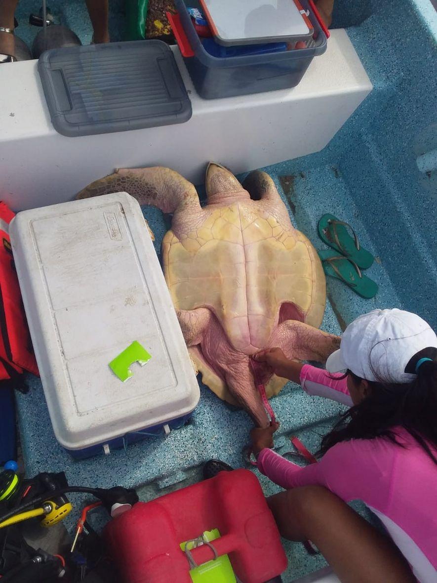 El equipo de investigación recopila información morfométrica de un macho de tortuga golifina.