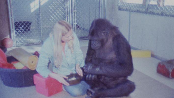 Recuerda a Koko, la gorila, en esta película de 1981