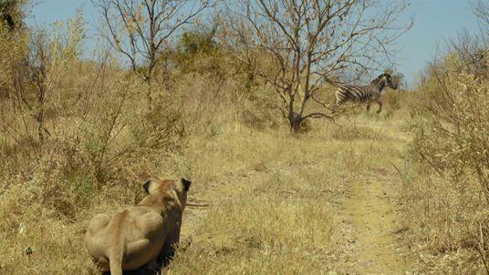 Leonas cazan una cebra | Imperio Salvaje