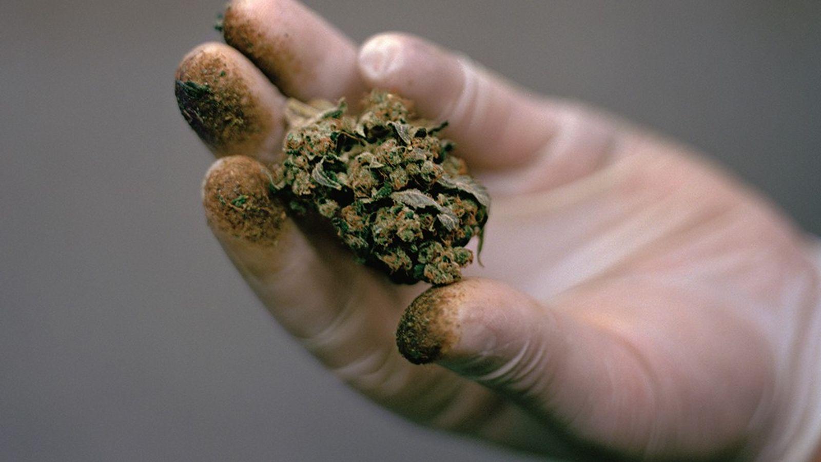 Los defensores de la marihuana creen que la planta, durante mucho tiempo difamada, puede mejorar la ...