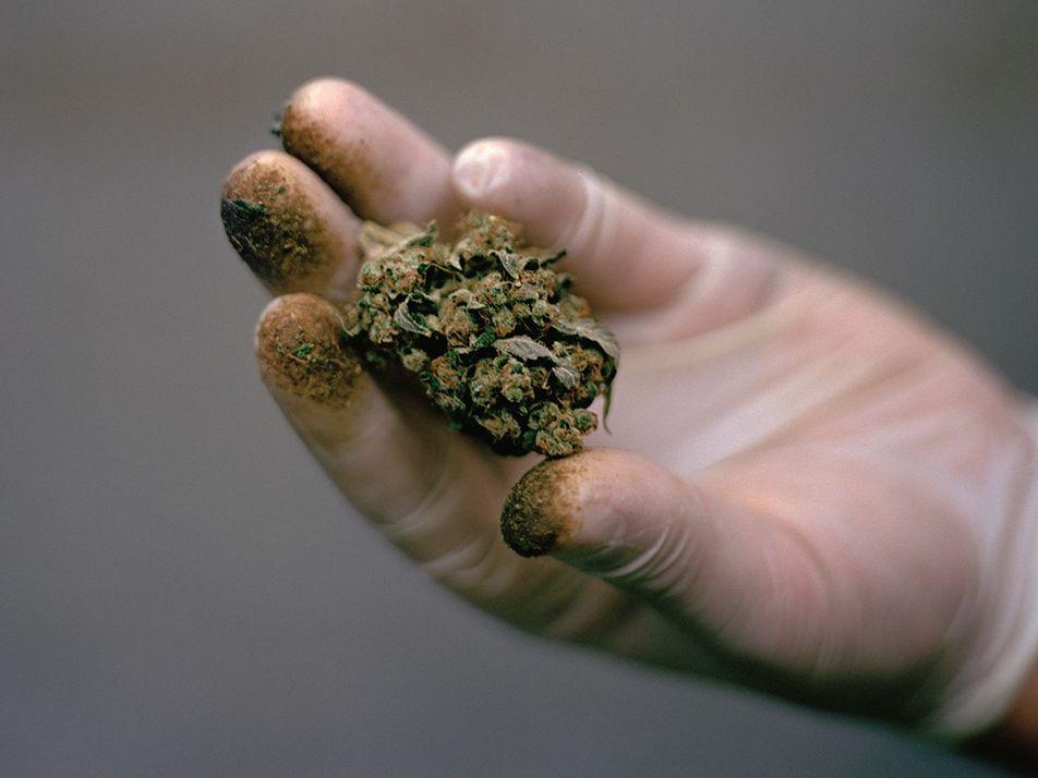 La ciencia busca develar los secretos de la marihuana