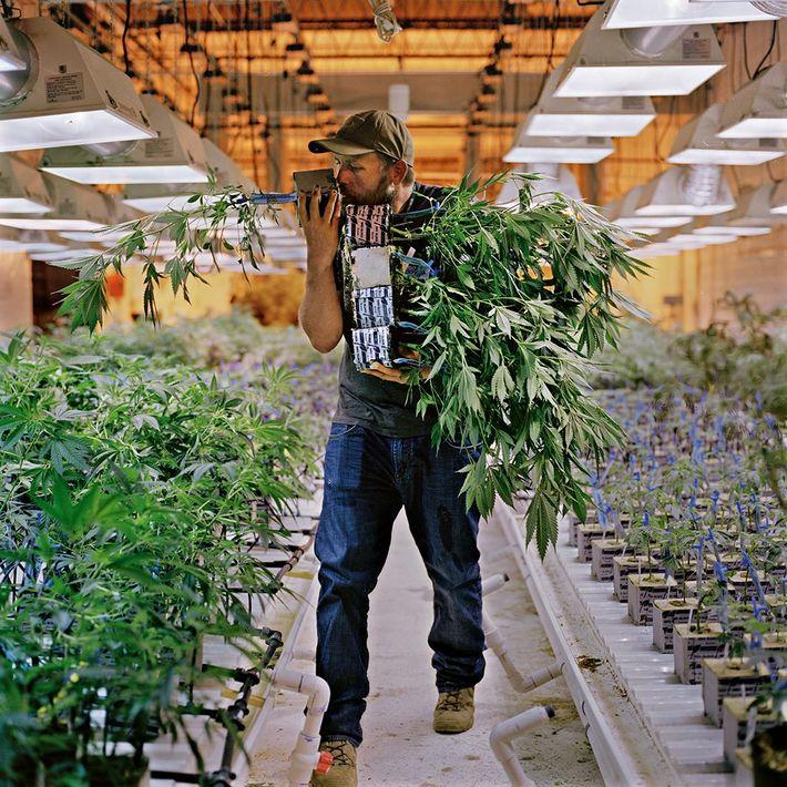 """Phillip Hague, el horticultor jefe de una compañía de cannabis en Denver llamada """"Mindful"""", huele las ..."""