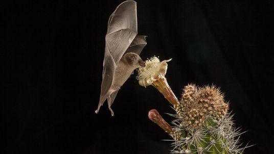 Si te gusta el tequila, deberías amar a los murciélagos. Este es el por qué.