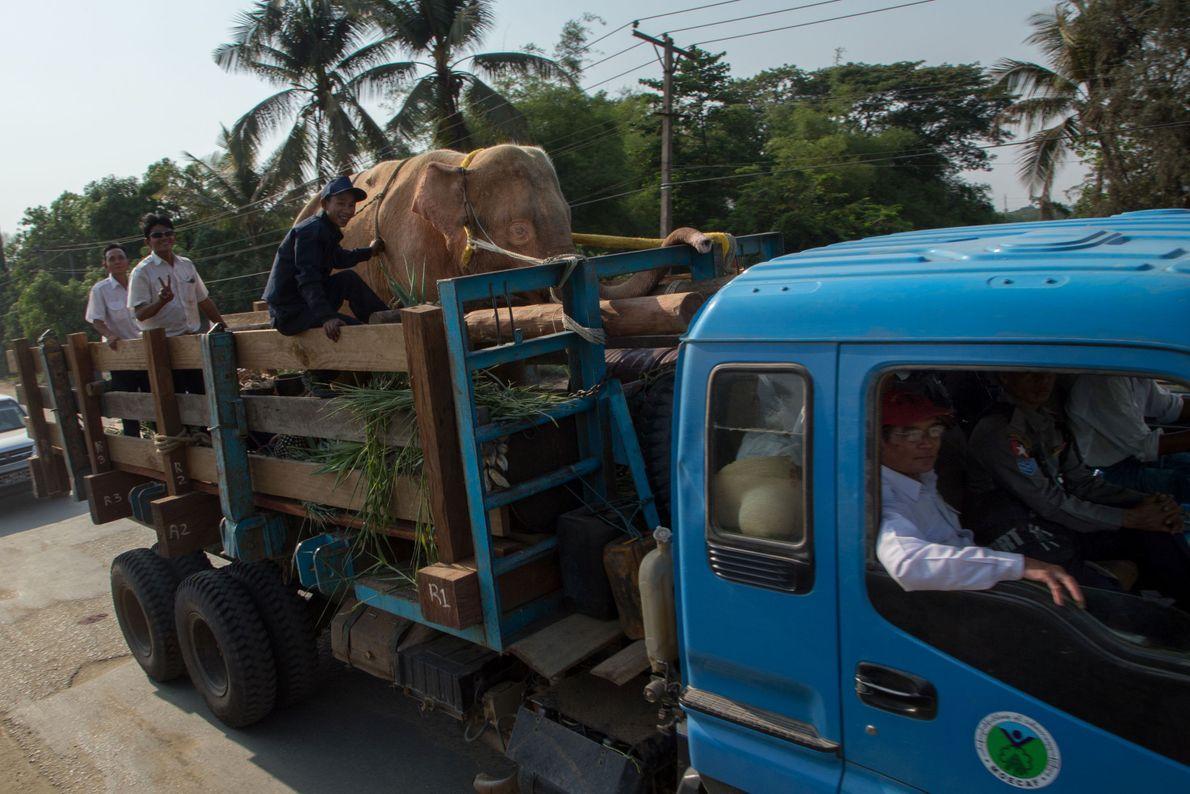 El noveno elefante blanco de Birmania es trasladado desde Pathein hacia su nuevo hogar en Naypyitaw.