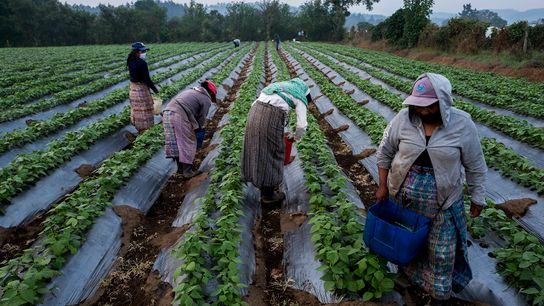 Un grupo de mujeres trabajando la cosecha en el campo durante el brote de COVID-19, en ...