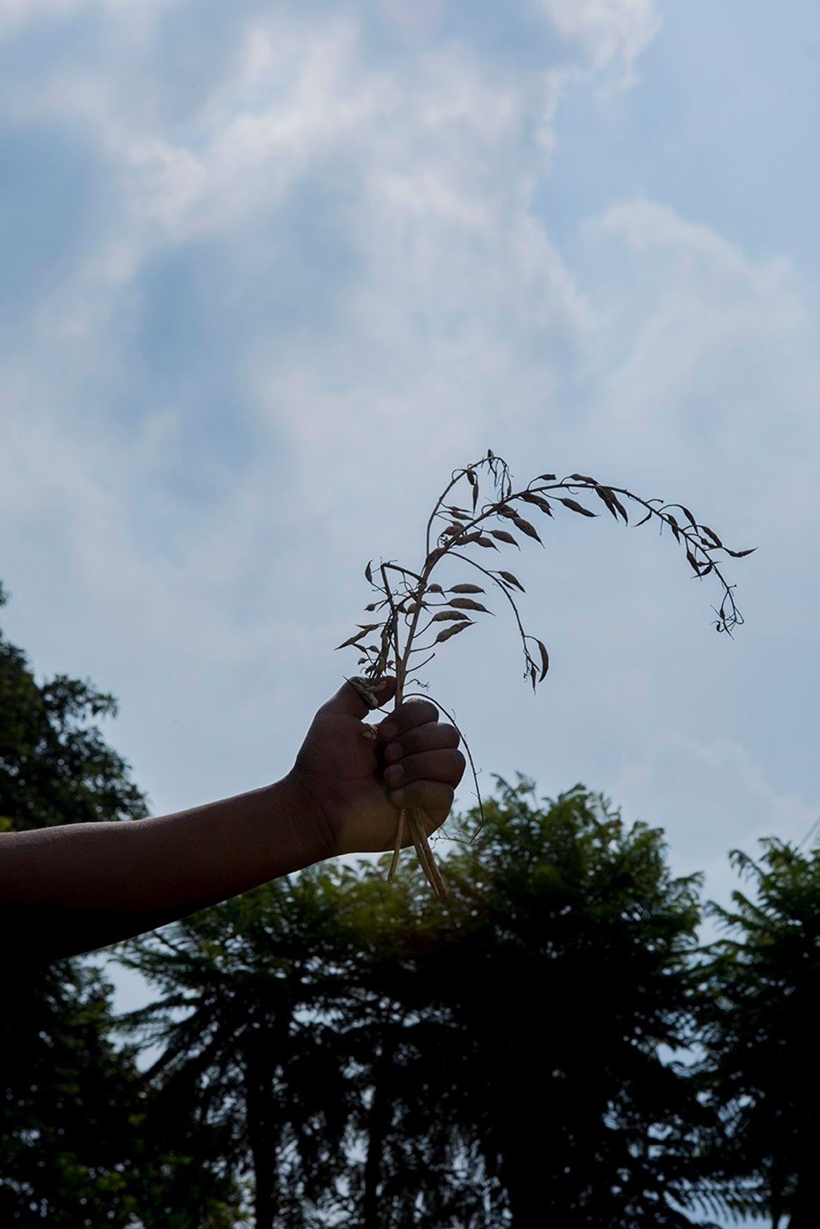 La mano de Marcelo, un joven que trabaja en su huerto para cosechar y almacenar semillas ...