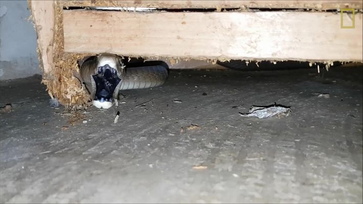 Mira ahora: Un hombre echa de su hogar a la 'serpiente más mortal del mundo'