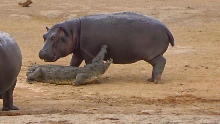 Un hipopótamo joven intenta jugar con un cocodrilo